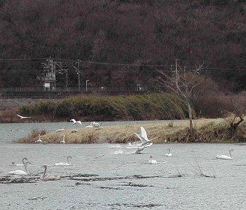 白石川白鳥飛来地