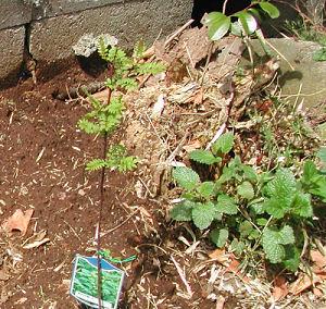 庭の山椒とキャッツミント