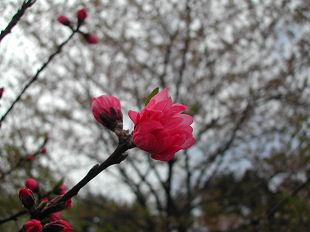 十三塚の桜