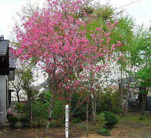 耕龍寺の花桃